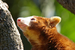 Tree kangaroo. A tree kangaroo searching for food royalty free stock image