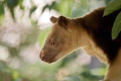 A tree kangaroo. This is a  close up of a tree kangaroo Stock Photos