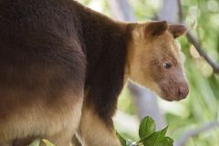 A tree kangaroo. This is a  close up of a tree kangaroo Stock Images