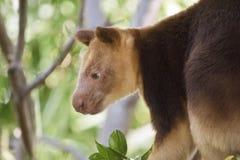 A tree kangaroo. This is a  close up of a tree kangaroo Stock Image