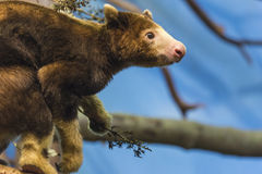 Tree Kangaroo Royalty Free Stock Photo