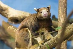 Tree Kangaroo Royalty Free Stock Photography