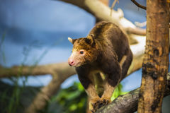 Tree Kangaroo Stock Photography