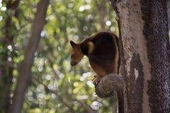 Tree kangaroo Stock Image