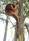 Tree kangaroo Royalty Free Stock Photography