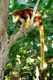 Tree kangaroo sitting on a tree branch, Papua New Guinea.  Stock Images