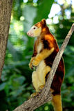 Tree kangaroo sitting on a tree branch, Papua New Guinea.  Royalty Free Stock Photos