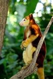 Tree kangaroo sitting on a tree branch, Papua New Guinea Royalty Free Stock Photos