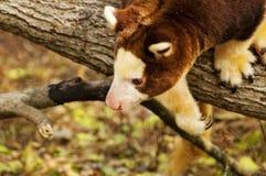 Tree Kangaroo Royalty Free Stock Image