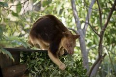 A tree kangaroo. The tree kangaroo is eating leaves Royalty Free Stock Photos