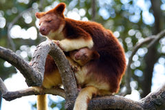 Tree Kangaroo. Unique tree kangaroo with baby sitting high in a tree limb. Good background with photo taken in landscape mode Royalty Free Stock Photography