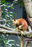 Tree-kangaroos are marsupials of the genus Dendrolagus, adapted Royalty Free Stock Image