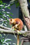 Tree-kangaroos are marsupials of the genus Dendrolagus, adapted Royalty Free Stock Photo