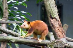 Tree-kangaroos are marsupials of the genus Dendrolagus, adapted Royalty Free Stock Photos