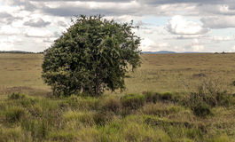 Tree in Kenya Stock Photo