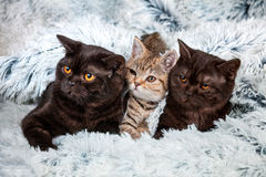 Tree kittens on a blanket royalty free stock photography