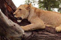 Tree-klättring lion, Serengeti, Afrika Royaltyfri Foto