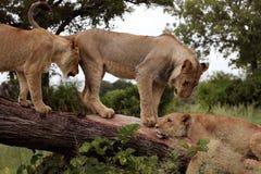 Tree-klättring lions, Serengeti Arkivbild
