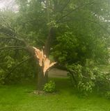 Tree knocked down due to heavy winds. Big maple tree knocked down by heavy winds during a high intensity storm.  Global warming leads to more intense storms as Stock Photo
