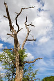 Tree in Kruger National Park Stock Images