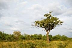 Tree in Kruger National Park Stock Image
