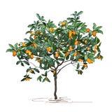Tree a kumquat Fortunella Swingle L. with mature fruits royalty free stock photo