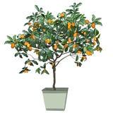 Tree a kumquat Fortunella Swingle L. with mature fruits, in a pot stock photo