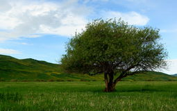 Tree on Kyrgyzstan steppes Royalty Free Stock Photos