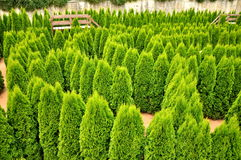 Tree labyrinth Royalty Free Stock Image
