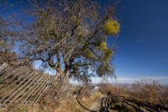 Tree laden with mistletoe (Viscum album) Stock Images