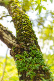 Tree laden with moss and orchid Royalty Free Stock Photo