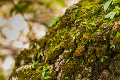 Tree laden with moss and orchid Royalty Free Stock Photography