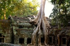 Tree laden temple. The famous picture from the movies of preah khan Stock Images