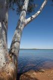 Tree at Lake royalty free stock image