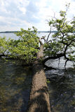 Tree in the lake. Fallen tree in the lake Stock Photography