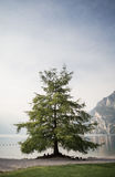 Tree at Lake Garda in Italy Stock Images
