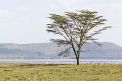 Tree at Lake Nakuru, Kenya Stock Photography