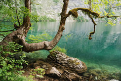 Tree at lake obersee Royalty Free Stock Image