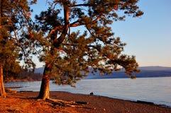 Tree at the lake shore. Warm evening sunlight hitting a ponderosa pine at the lake Royalty Free Stock Images