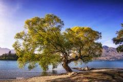 Tree by lake wakatipu Royalty Free Stock Images