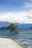 Tree in Lake Wanaka. A tree growing in a lake in Lake Wanaka New Zealand stock photos