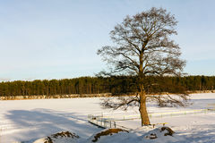 Tree by the lake in winter. Lonely tree growing at the pier near a lake in winter. On the opposite bank of the growing forest stock photos