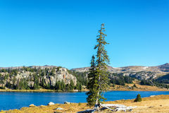 Tree on a Lakeshore. Pine tree on a lakeshore in Shoshone National Forest in Wyoming, USA Stock Images