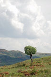 Tree Landscape. Image of a single tree on a hillside with storm clouds brewing Stock Images