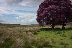 Tree Landscape (Black and White). Landscape at the Sally Gap in Wicklow, Ireland. Grassy plains with tree in foreground with purple leaves. Colour Stock Image