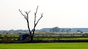 Tree on landscape. The tree is on the green rice farm royalty free stock image
