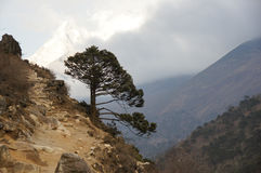 Tree landscape. Tree grows outwards above ravine on the trail to Everest Base Camp Royalty Free Stock Image