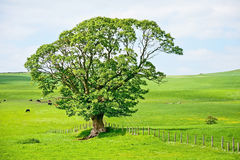 Tree in landscape Royalty Free Stock Photos