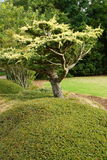 Tree in landscaped garden Royalty Free Stock Photography