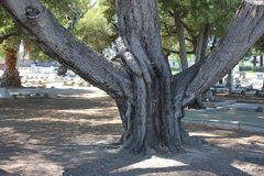 Tree with large branches Royalty Free Stock Photography